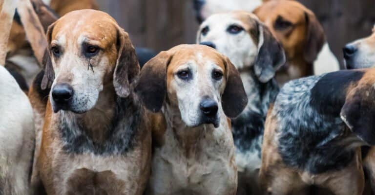 Pack of English Foxhounds