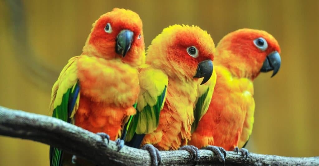 Three beautiful parakeets, Sun Conures, sitting on a tree branch.