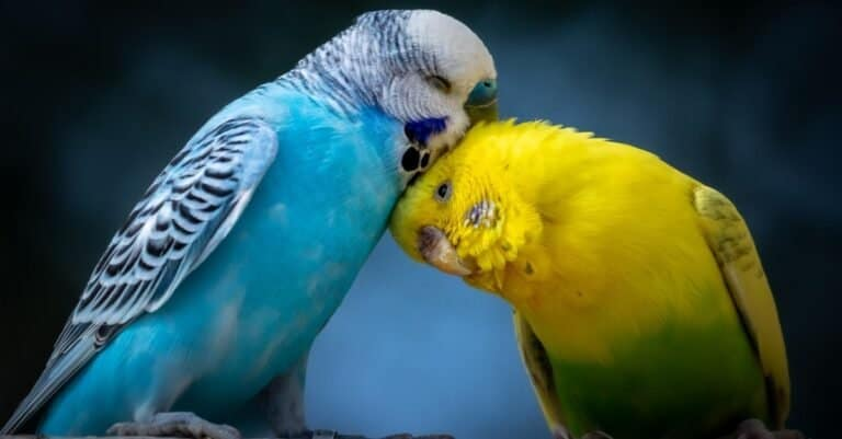 Two cute cuddling Parakeets (budgies) perched on branch.