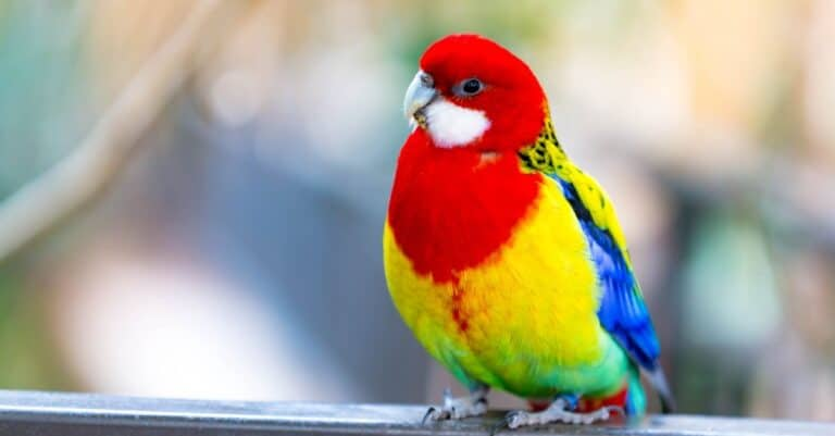 A parakeet, Eastern Rosella, sitting on the window sill.