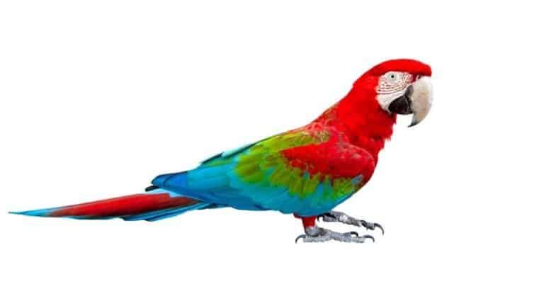 Parakeet (macaw) isolated on white background.