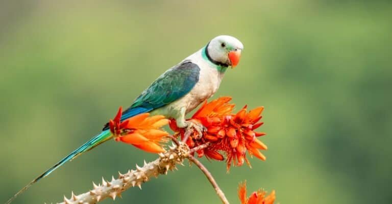 A male Malabar Parakeet sitting on a branch in the fields on the outskirts of Shivmoga, Karnataka