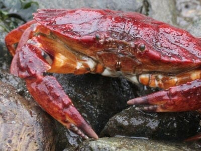 A Rock Crab