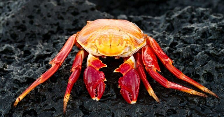 Red Rock Crab in the Galapagos