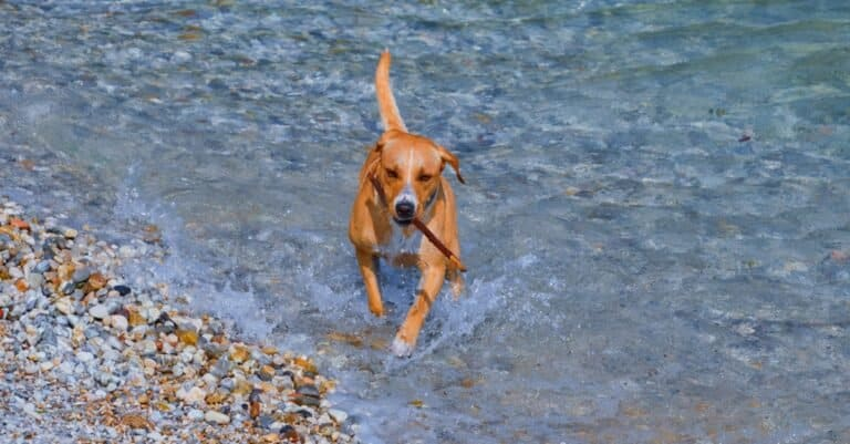 Redbone Coonhound dog running out of clear water with a stick in its mouth.
