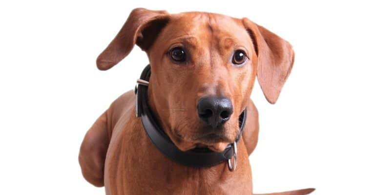 Redbone Coonhound dog isolated on white background.