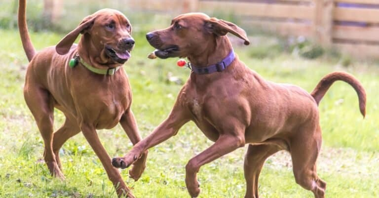 Redbone Coonhounds dogs playing happily.