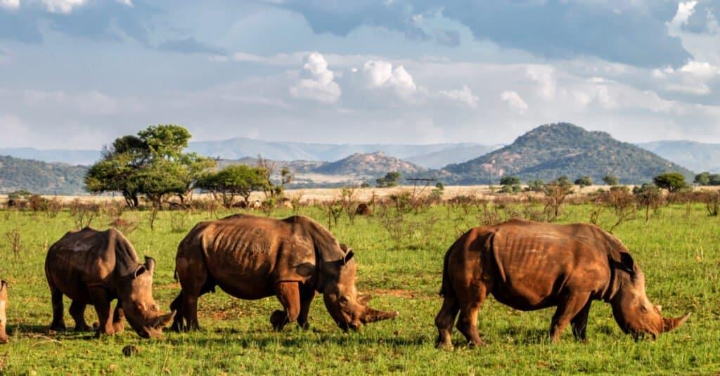 Animal Groups – Crash of Rhinoceroses