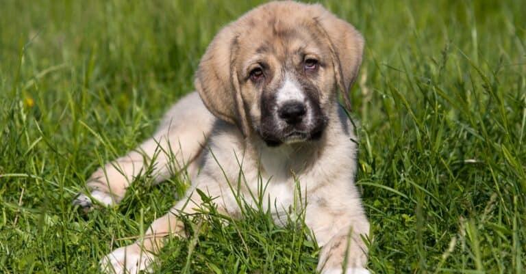Spanish Mastiff puppy lying in the grass
