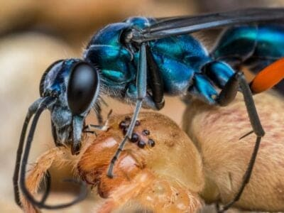 A Spider Wasp