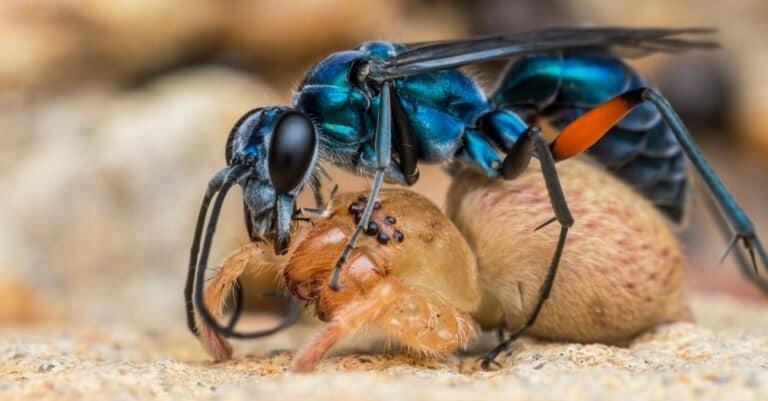 Blue Spider Wasp killing a Huntsman Spider.
