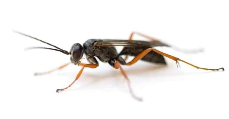Spider Wasp (Auplopus mellipes) isolated on white background