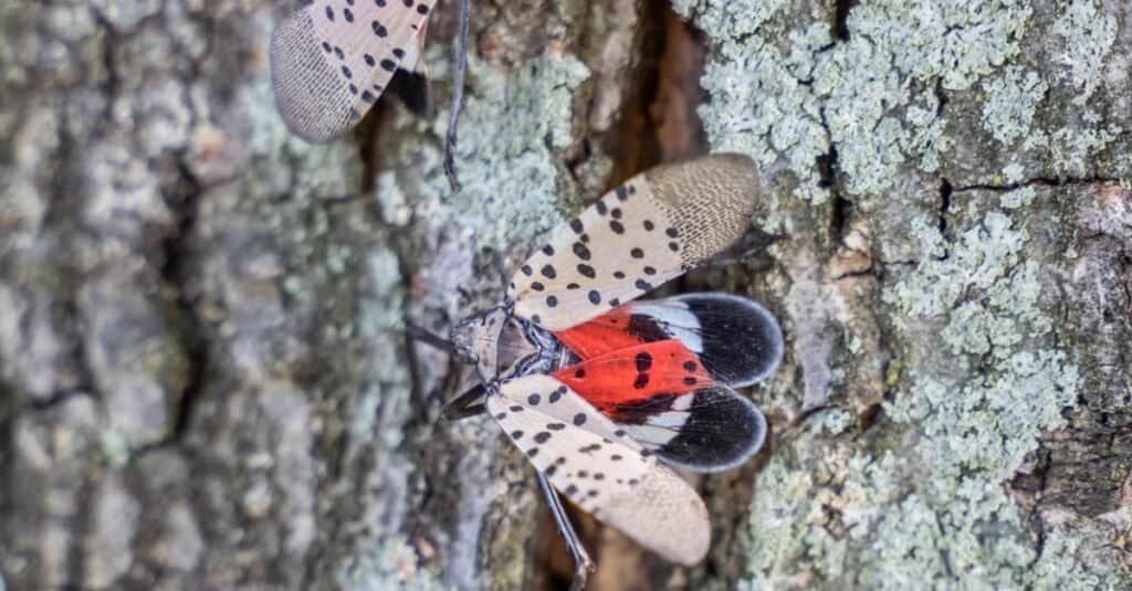 Spotted Lanternflies on Tree Bark