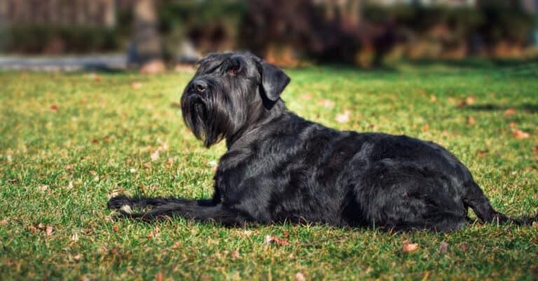 Close-up portrait of the dog. Giant Schnauzer. Service dog.