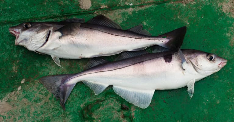 Two Haddock on green background