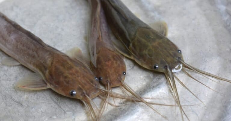 Young walking catfish in a bowl.