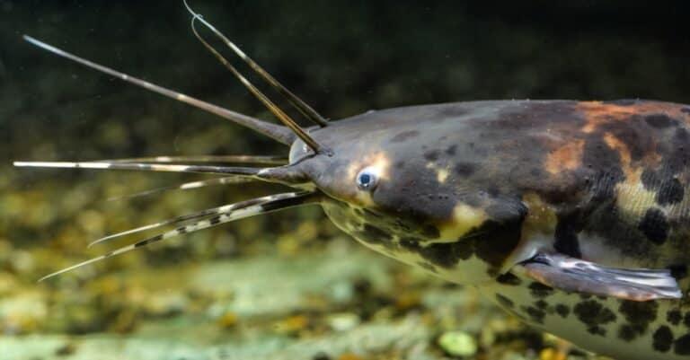 Clarias batrachus or black walking catfish in natural background.