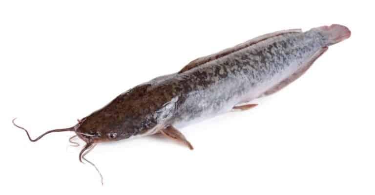Walking catfish or clarias batrachus isolated on white background.
