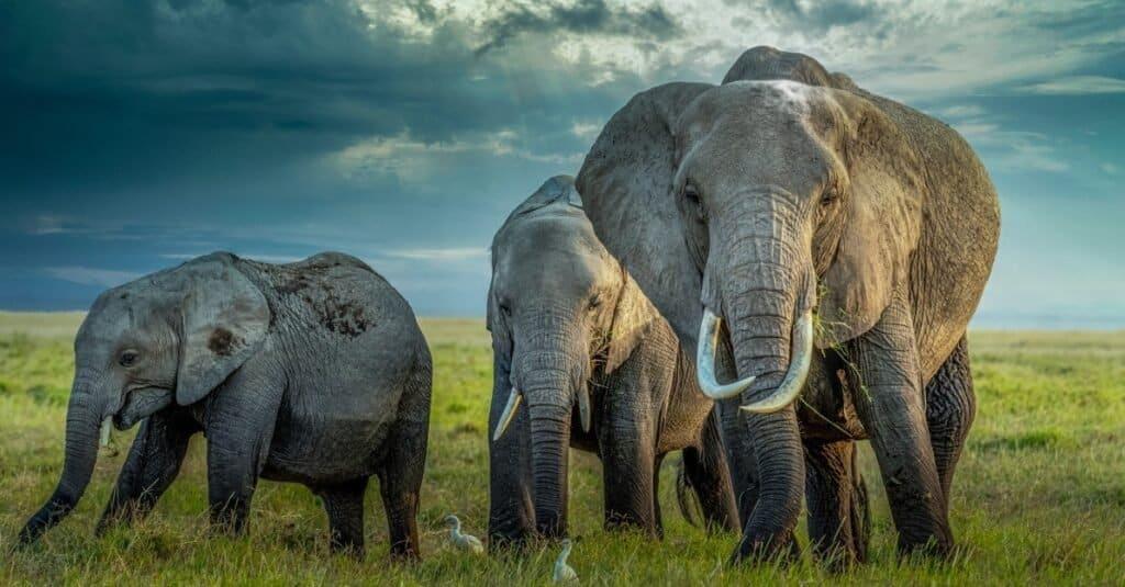 Weakest Animals elephant