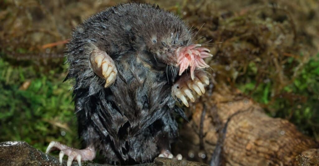 Weakest animals Star-Nosed Mole