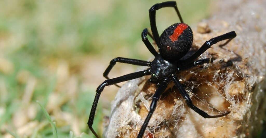 Weakest animals black widow spider