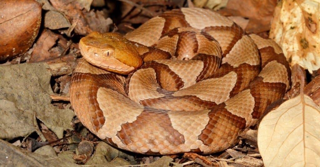 Weakest animals copperhead snake