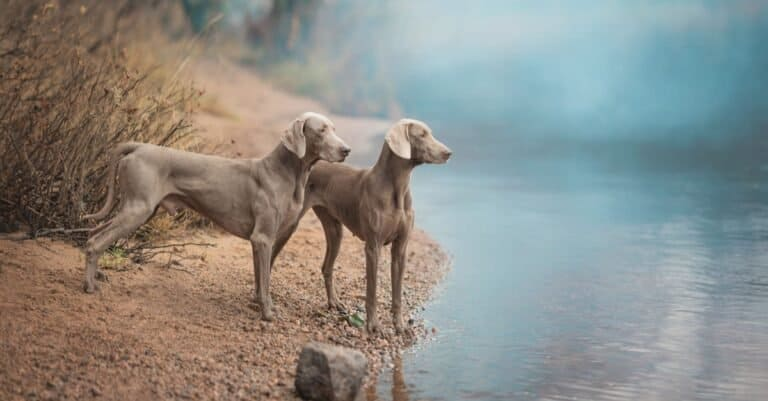 Two Weimaraner dogs standing at the river.
