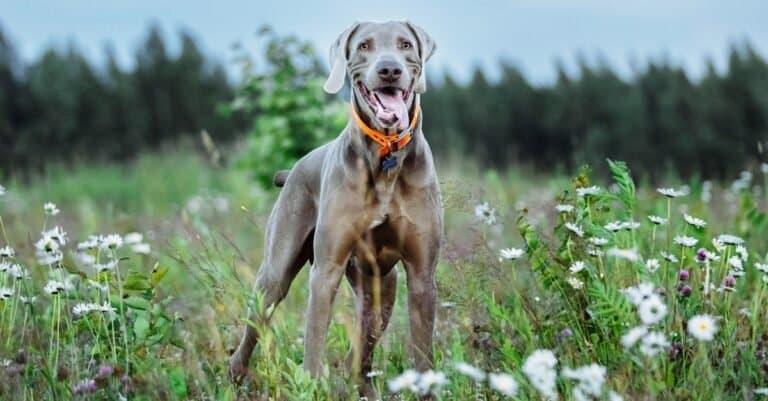 Happy funny gray Weimaraner dog in orange collar standing joyfully.