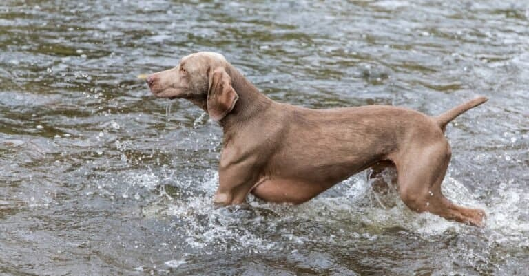 Weimaraner hunting dog in the river.