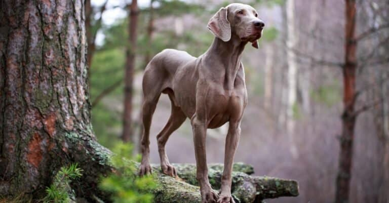 A Weimaraner dog standing in the woods.