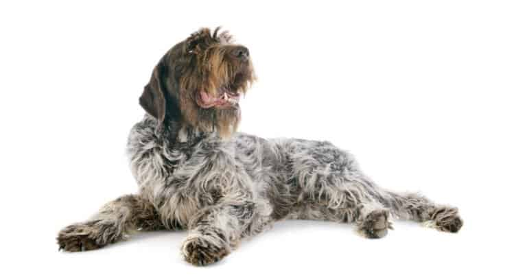 Wirehaired Pointing Griffon- isolated