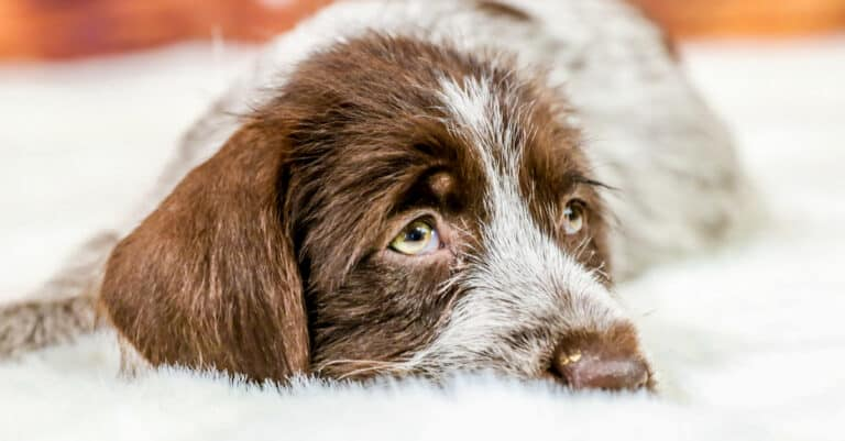 8-Month-Old Wirehaired Pointing Griffon lying down