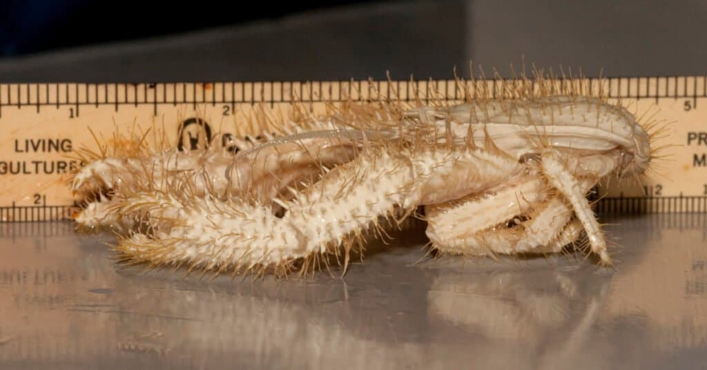 A side view of the Yeti crab, new crab species found a thousand feet deep in the Pacific Ocean off Costa Rica. (Oregon State University)