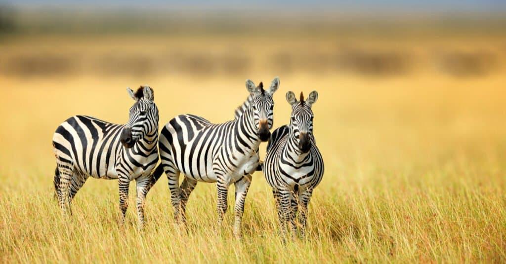 Animal Groups – Zeal of Zebras