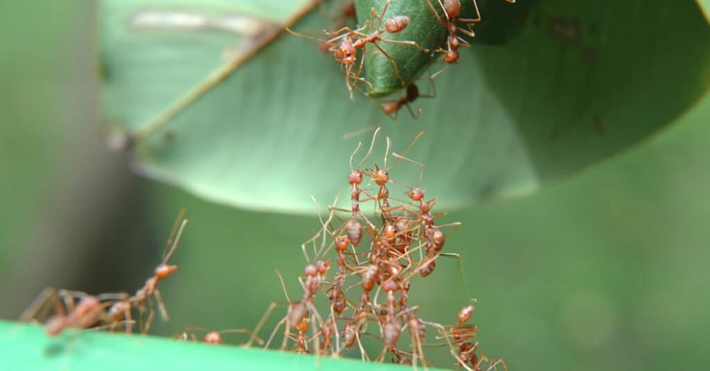 Ants helping each other climb up