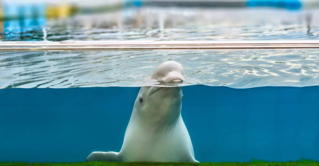 Are whales mammals - beluga whale in captivity