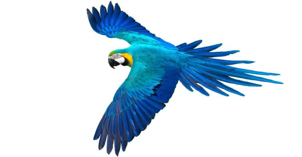 Largest Parrots - Blue and Yellow Macaw