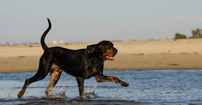 Black and Tan Coonhound - strolling on the beach