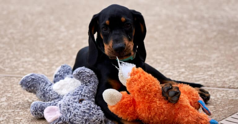 Black and Tan Coonhound - puppy
