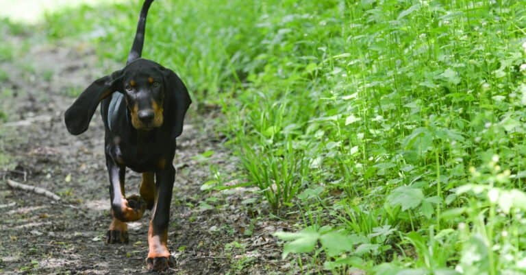 Black and Tan Coonhound - walking on the path