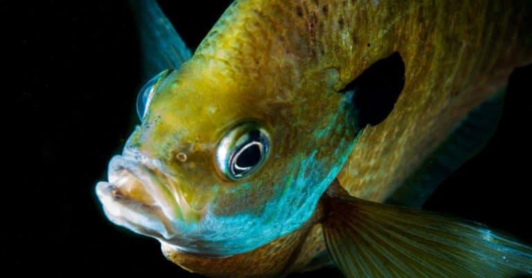 Crappie fish swimming