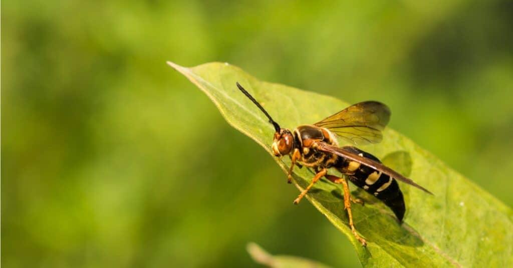 Largest Wasps - Cicada Killer