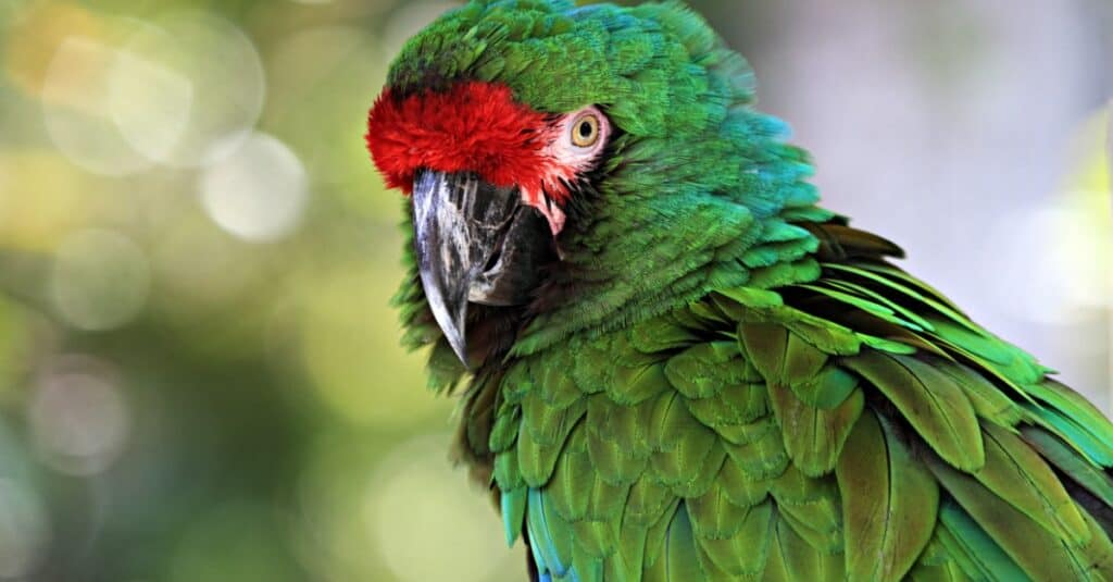 Largest Parrots - Great Green Macaw