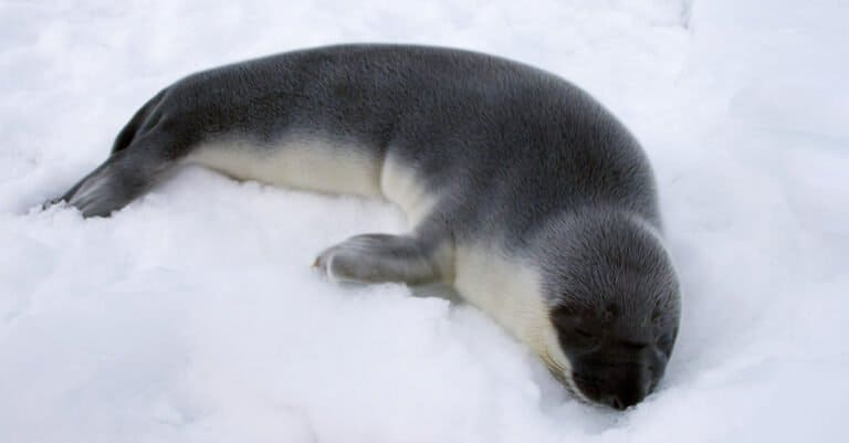 hooded seal pup laying on the ice