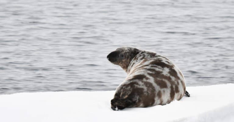 hooded seal looking out at the water