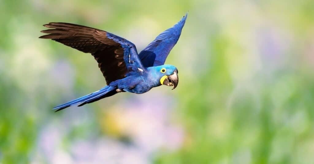 Largest Parrots - Hyacinth Macaw