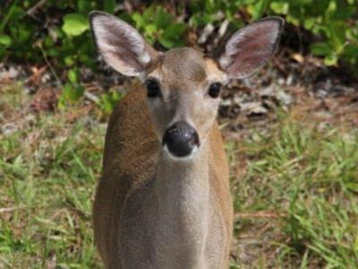 A Key Deer