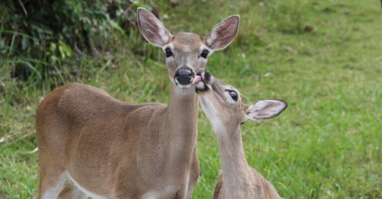 Key deer with baby