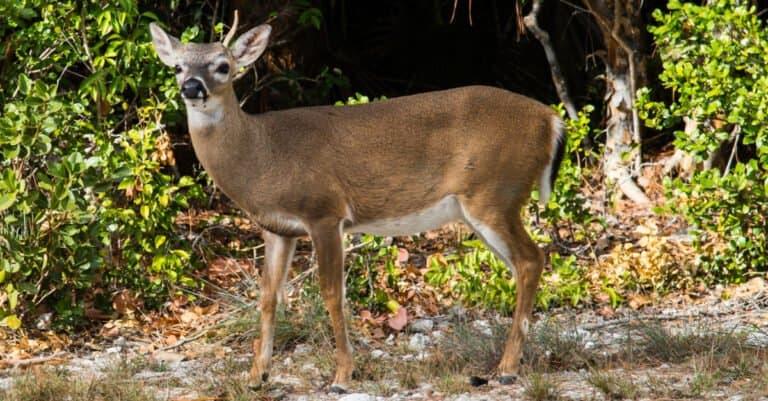 Key deer buck growing antlers