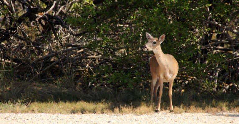 Key deer standing beside the road